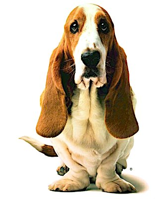 Jason the Basset Hound From The Hush Puppies Ad